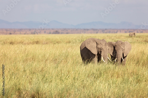 2 Young African Elephants, Loxodonta, on the plains of Amboselli