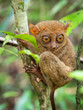 The Philippine Tarsier, One of the Smallest Primates, in Its Natural Habitat in Bohol, Philippines.