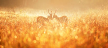 Two Males Hog Deer Fighting In Misty Field.