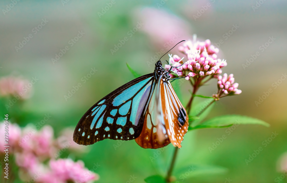 Fototapety, obrazy: Blue butterfly perched on a budding pink flower
