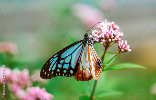 Blue butterfly perched on a budding pink flower