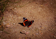 Butterfly Red Admiral Red Admi...