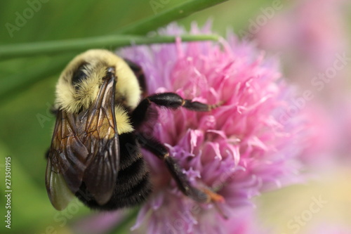 Macro photography of a common eastern bumble bee foraging among pink and purple chive blossoms.