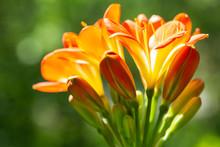 Orange Clivia Flowers Or Natal...