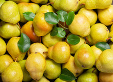 Fresh Ripe Pears With Leaves A...