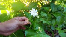 Orange Jasmine White Flower On The Tree In Garden,The Last Jasmin Of The Seasson In My Hand