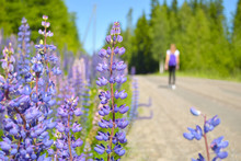 Tourist Girl Travelling Alone During Holiday And Lupinus, Lupin, Lupine With Pink Purple And Blue Flowers With Greenery Background Growing At Roadside Of Finnish Countyside
