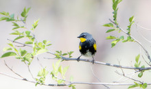 Yellow-rumped Warbler (Setopha...