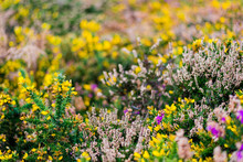 Heather And Yellow Gorse Flower Close-up. Brittany, France