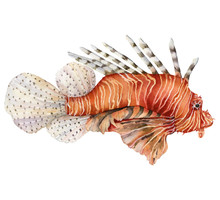 Watercolor Red Lionfish. Coral...