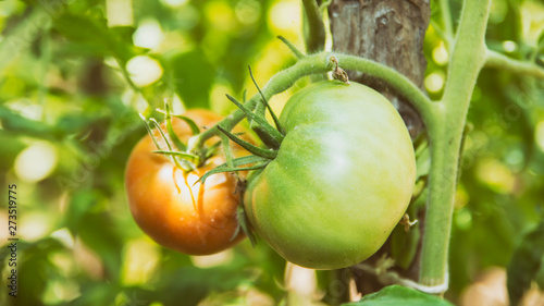 Natural Red And Green Tomatoes Growing On A Branch - 273519775