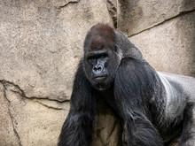 A Large Gorilla Walking Around