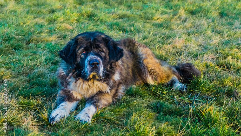 Fototapeta Caucasian Shepherd dog in field with green grass