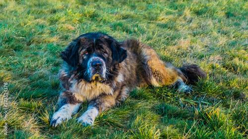 Obraz Caucasian Shepherd dog in field with green grass - fototapety do salonu