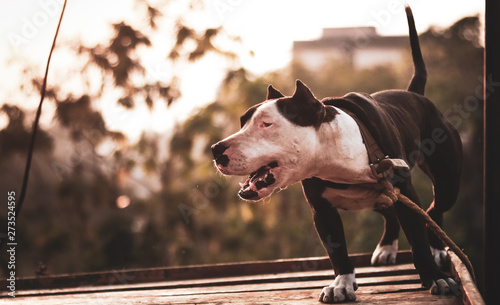 chained pitbull dog growling Wallpaper Mural