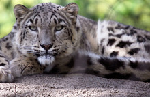 Snow Leopard (I'm Looking At You)