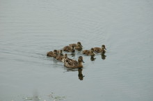 Ducks And Ducklings On The Water