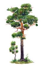 Pines, Big And Small, Watercol...