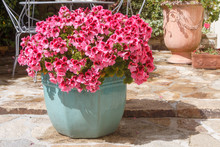Green Planter With Pink Geranium Flowers In A Garden During Spring