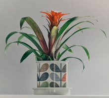Flowering Bromeliad In A Pot