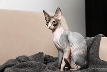 Cute Sphynx Cat And Blanket On Sofa Indoors. Friendly Pet