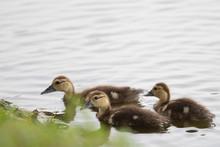 Three Amigos - Duckling Style