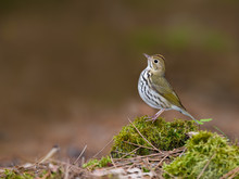 Ovenbird Perched On Log Covered In Moss In Spring