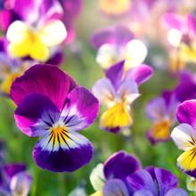 Group Of Perennial Yellow-viol...
