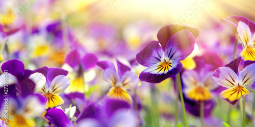 In de dag Pansies group of perennial yellow-violet Viola cornuta, known as horned pansy or horned violet