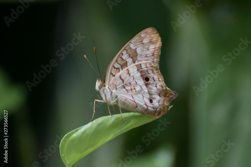 Butterfly 2019-50 / White peacock butterfly (Anartia jatrophae)