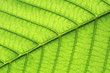 canvas print picture - leaf vein abstract natural pattern background. diagonal stem line. green eco environmental and earth conservation concepts.