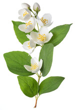 Blooming Jasmine Branch Isolated On White.