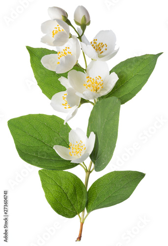 Photographie Blooming jasmine branch isolated on white.