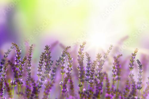 Fototapety, obrazy: lavendelblüten im sonnenschein