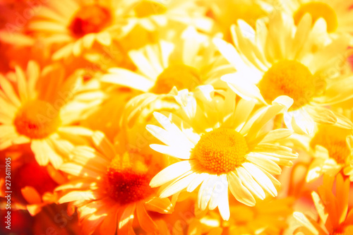 Fototapety, obrazy: Abstract summer floral background. Close-up of beautiful chamomile flowers