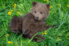 Brown Bear Cub Playing On The ...