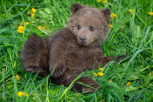 Brown bear cub playing on the summer field Poster Mural XXL