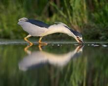 Black-crowned Night Heron (Nyc...