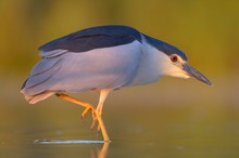Black-crowned Night Heron (Nycticorax Nycticorax), Adult Standing In Fish Pond, Evening Light, Kiskunsag National Park, Hungary, Europe
