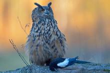 Eurasian Eagle-owl (Bubo Bubo), Adult Female With Prey, Eurasian Magpie (Pica Pica), Sumava National Park, Sumava, Czech Republic, Europe