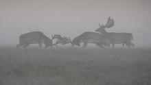Fallow Deer Fighting In Forest
