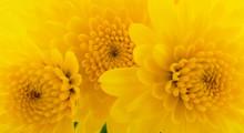Yellow Chrysanthemums Background.