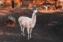 Funny White Llama Stands In The Zoo's Aviary And Looks Ahead, Autumn Sunny Day, Kaliningrad Region