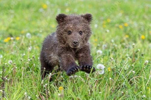 Murais de parede Brown bear cub playing on the summer field