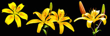 Lilium Lancifolium Or Daylily Is An Asian Species Of Lily,  Is Widely Planted As An Ornamental, Isolated On Black Background.