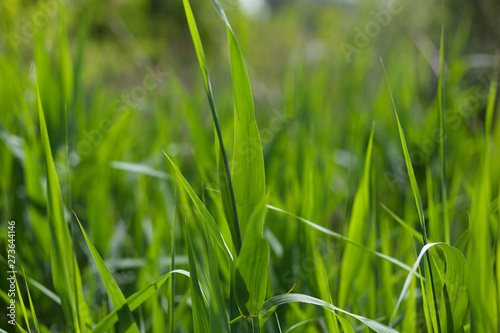 Fotografia, Obraz Sedge leaves on summer morning