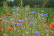 pola, mak, charakter, kwiat, hayfield, czerwień, krajobraz, lato, zieleń, jary, niebo, gras, countryside, blękit, obszarów wiejskich, rolnictwa, roślin, beuty, dzika, chmura, piękne, kwiat polny