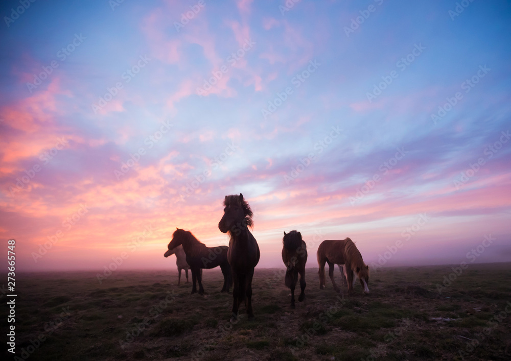 Group of Icelandic horses in beautiful sunset