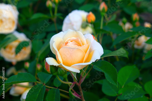 Single large light pink rose with dark green leaves in a dark background -03