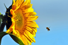 The Bee Pollinating The Flower Of A Sunflower Closeup.